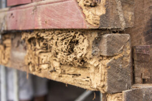 Termite infestation in rotting wood