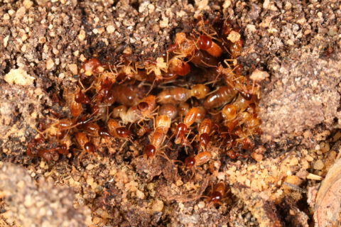 Close up of termites on a mound of dirt